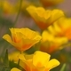 Close up of California golden poppies - PhotoDune Item for Sale