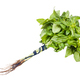 bunch of green sweet basil herb isolated on white - PhotoDune Item for Sale