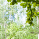 green oak leaves in forest with blurred birches - PhotoDune Item for Sale