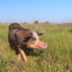 pig on a meadow - PhotoDune Item for Sale