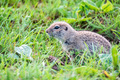 Mountain Caucasian Gopher or Spermophilus musicus in grass in Russia - PhotoDune Item for Sale