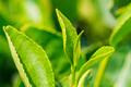 Close up green tea leaves in a tea plantation - PhotoDune Item for Sale