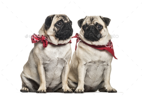 Pug, 2 years old and 1 year old, sitting in front of white background - Stock Photo - Images