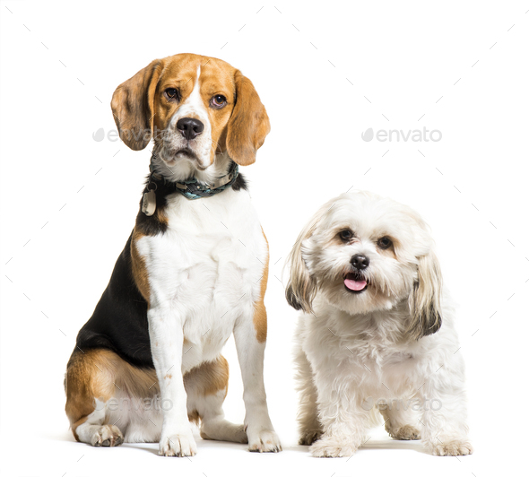 Beagle, Mixed-breed dog sitting in front of white background - Stock Photo - Images