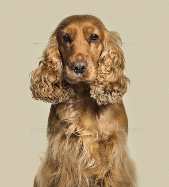 English Cocker Spaniel looking at camera against white background - Stock Photo - Images