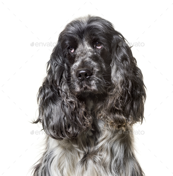 English Cocker Spaniel , 4, 5 years old, against white background - Stock Photo - Images