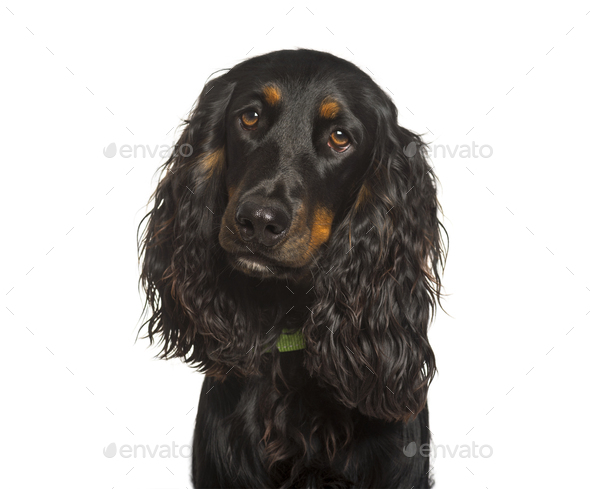 English Cocker Spaniel dog looking at camera against white background - Stock Photo - Images