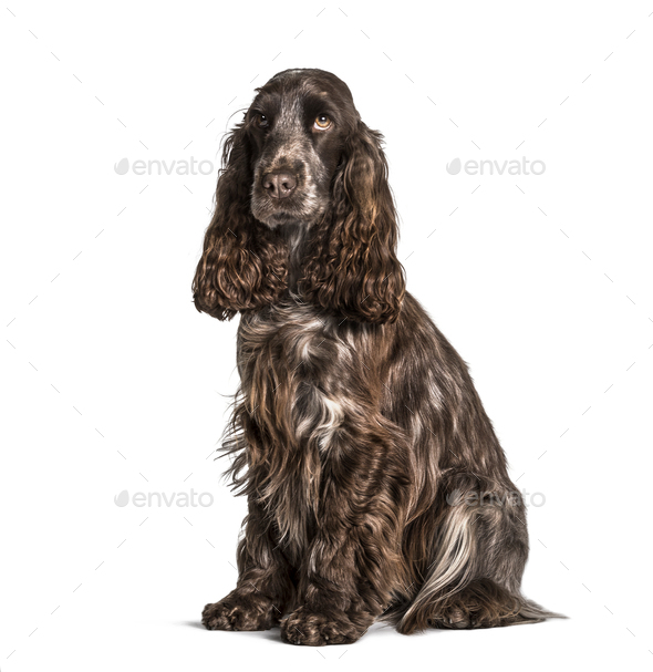 Cocker sitting against white background - Stock Photo - Images