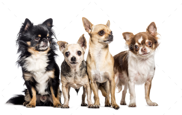 Chihuahua in front of white background - Stock Photo - Images