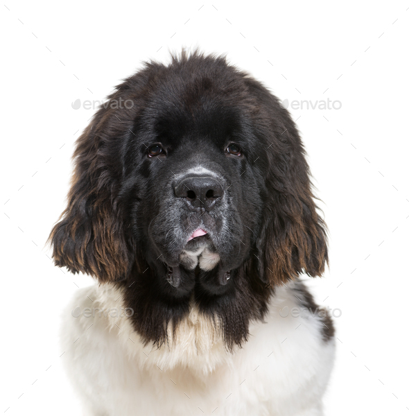 Newfoundland dog, 7 months old, in front of white background - Stock Photo - Images