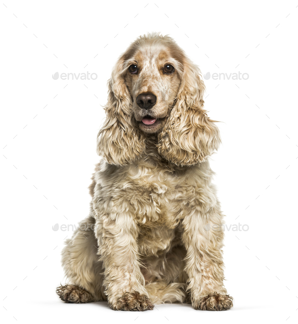 English Cocker Spaniel sitting in front of white background - Stock Photo - Images