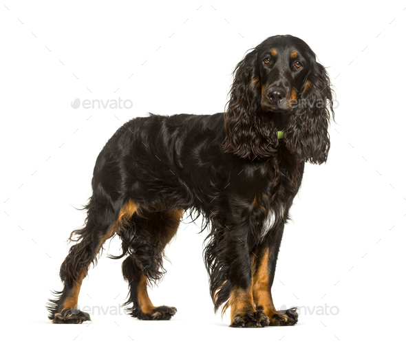 English Cocker Spaniel dog standing against white background - Stock Photo - Images