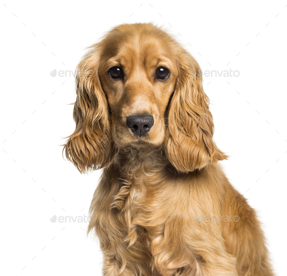 Cocker spaniel looking at camera against white background - Stock Photo - Images