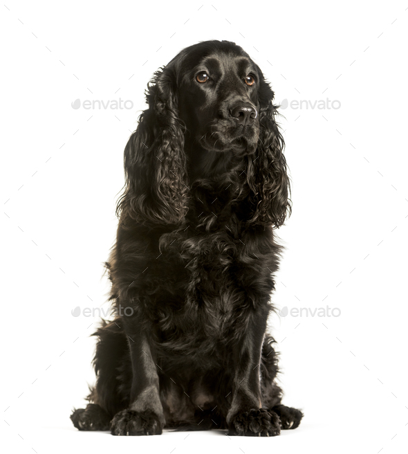 Cocker spaniel sitting against white background - Stock Photo - Images