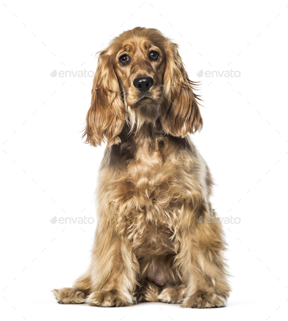 English Cocker sitting in front of white background - Stock Photo - Images