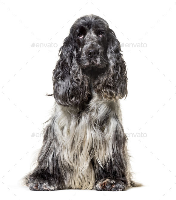 English Cocker Spaniel , 4, 5 years old, sitting against white background - Stock Photo - Images