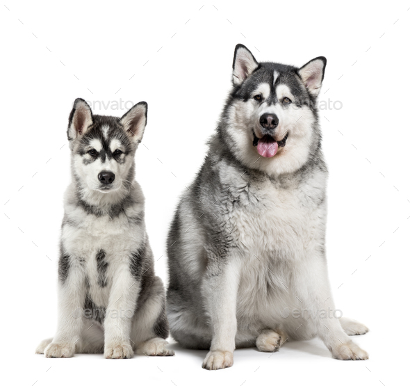 Puppy and fat adult Alaskan Malamute sitting in front of white background - Stock Photo - Images
