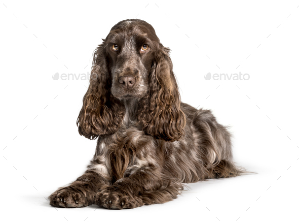 Cocker looking at camera against white background - Stock Photo - Images