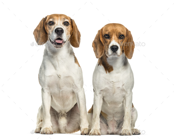 Beagle sitting in front of white background - Stock Photo - Images