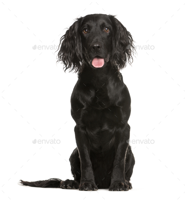 Cocker Spaniel, 1 year old, sitting in front of white background - Stock Photo - Images