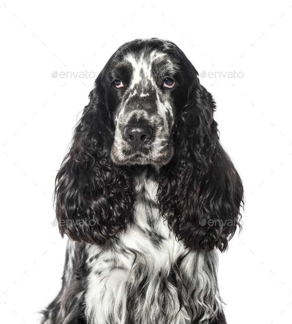 Cocker in front of white background - Stock Photo - Images