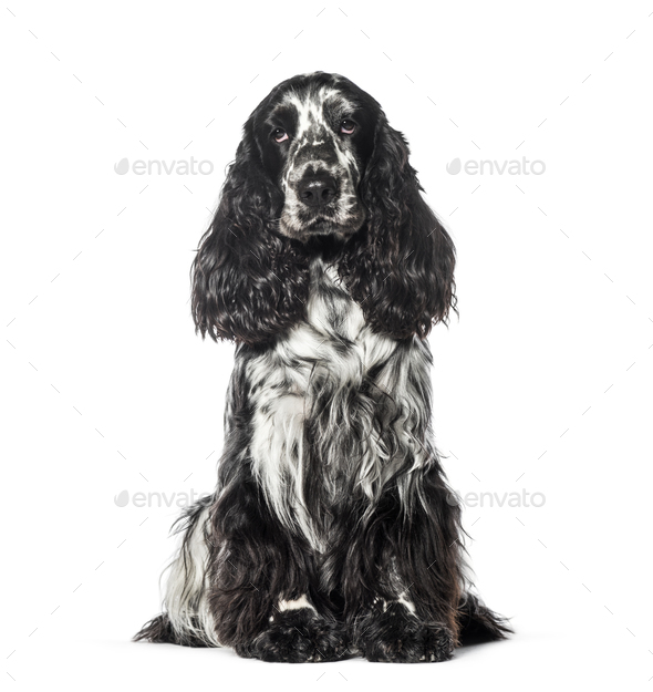 Cocker sitting in front of white background - Stock Photo - Images