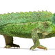 Side view of a Jackson's horned chameleon walking, Trioceros jacksonii - PhotoDune Item for Sale