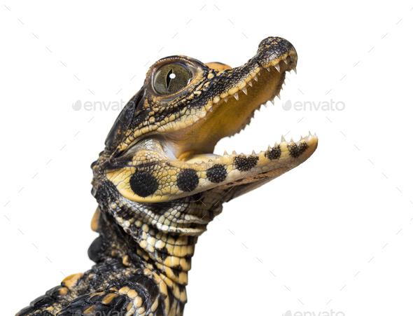 Dwarf crocodile, Osteolaemus tetraspis - Stock Photo - Images