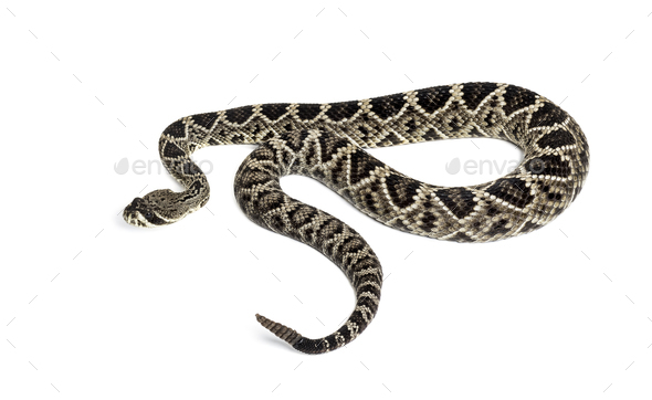 Crotalus atrox, western diamondback rattlesnake or Texas diamond-back, venomous snake against - Stock Photo - Images