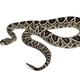Crotalus atrox, western diamondback rattlesnake or Texas diamond-back, venomous snake against - PhotoDune Item for Sale