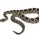 Crotalus atrox, western diamondback rattlesnake or Texas diamond-back, venomous snake against - PhotoDune Item for Sale