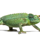 Jackson's horned chameleon walking, Trioceros jacksonii - PhotoDune Item for Sale