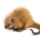 Pup prehensile-tailed porcupine, Coendou prehensilis, isolated, 15 days old - PhotoDune Item for Sale