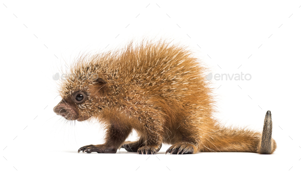 Pup prehensile-tailed porcupine, Coendou prehensilis, isolated, 15 days old - Stock Photo - Images