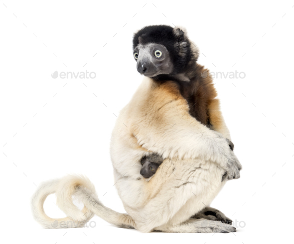 Mother Crowned Sifaka and her two months old baby sitting against white background - Stock Photo - Images