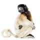 Mother Crowned Sifaka and her two months old baby sitting against white background - PhotoDune Item for Sale