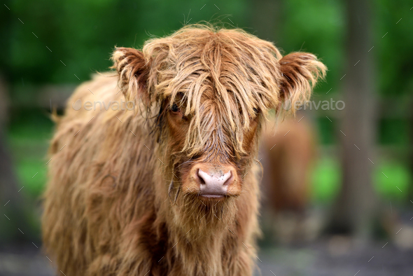 Portrait Of Scottish Highland Cow Hairy Coo With Its Long Fur