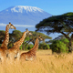 Three giraffe on Kilimanjaro mount background - PhotoDune Item for Sale