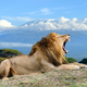 Lion on Kilimanjaro mount background in National park of Kenya - PhotoDune Item for Sale