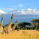 Three giraffe on Kilimanjaro mount background in National park o - PhotoDune Item for Sale