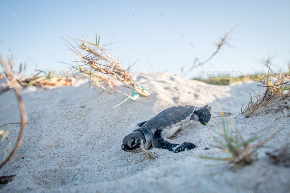 Baby Green sea turtle on the beach. - Stock Photo - Images