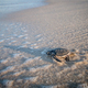 Baby Green sea turtle on the beach. - PhotoDune Item for Sale