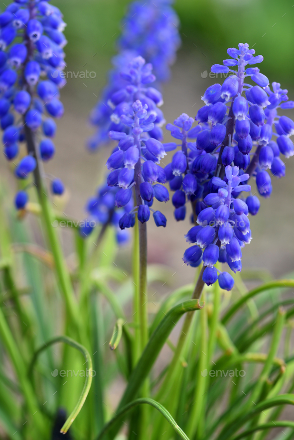Blue Hyacinth Muscari (Muscari botryoides) in spring garden - Stock Photo - Images
