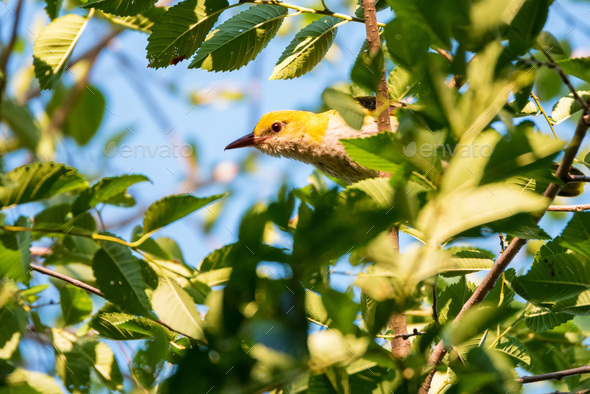 Young Eurasian Golden Oriole or Oriolus oriolus on tree branch - Stock Photo - Images