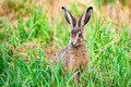 Alert European hare or Lepus europaeus sits in a meadow - PhotoDune Item for Sale
