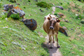 Portrait of brown cow walking on mountain road - PhotoDune Item for Sale
