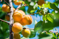Fresh ripe apricots on tree branch close up - PhotoDune Item for Sale