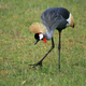 Crested / Crowned Crane, Uganda, Africa - PhotoDune Item for Sale