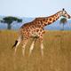 Giraffe, Uganda, Africa - PhotoDune Item for Sale