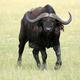 Buffalo, Uganda, Africa - PhotoDune Item for Sale